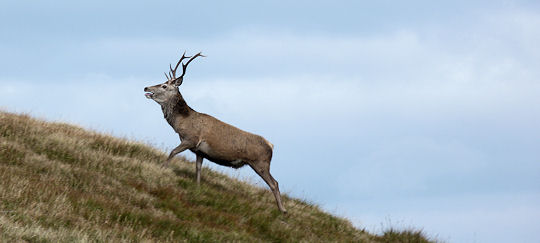Stag above Loch More