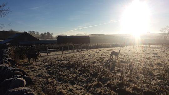 lp-winter-alpacas