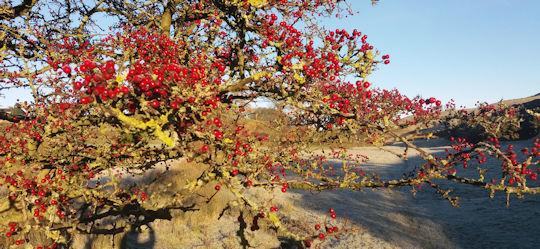 lp-winter-berries