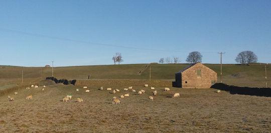 lp-winter-sheep